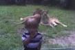 dvě lvice