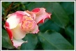 růže koncem léta