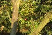 zapomenuté jablíčko mezi stromy