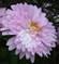 Růžová Listopádka 1