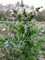 pichlavý plevel
