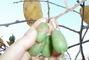 sklizeň kiwi
