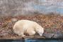 Zoo Brno - lední medvěd
