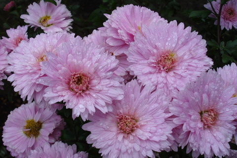 FOTKA - Růžová Listopádka 2