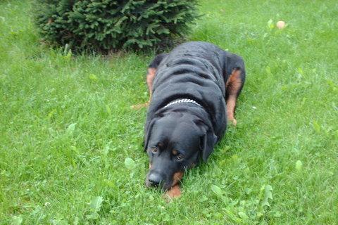 FOTKA - Roxy- náše rottweilerka odpočivá na záhradě.