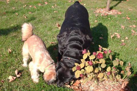 FOTKA - Ibišek a mojé psí damy rottweilerka Roxy i Aisha/řijen 2008/