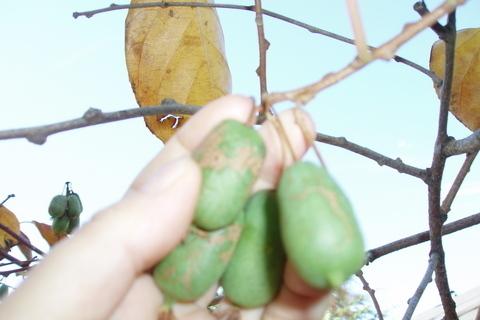 FOTKA - sklizeň kiwi