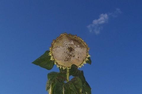 FOTKA - Poslední slunečnice