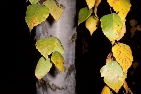 FOTKA - Podzimní bříza
