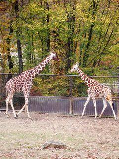 FOTKA - Zoo Brno - žirafy