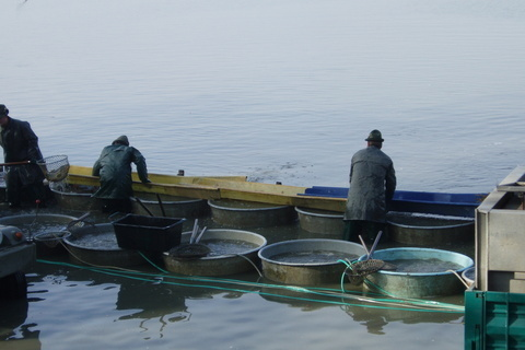 FOTKA - Munický rybník - třídění  vylovených ryb
