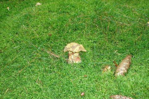 FOTKA - hřib kovář - okousaný od slimáka, ale jinak zdravý