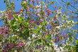 Jeden strom a dvě barvy květů