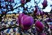 Detail větve magnolie