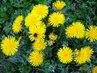 žlutá sluníčka s návštěvníkem