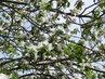Květy a poupátka jabloně (26.4.)