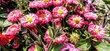 krásky plné sedmikrásky