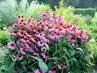 Dendrologická zahrada v Průhonicích - echinacea