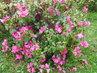 Zmoklý keř rododendronu (15.5.)