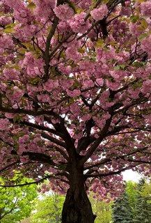 FOTKA - Kvitnú sakury