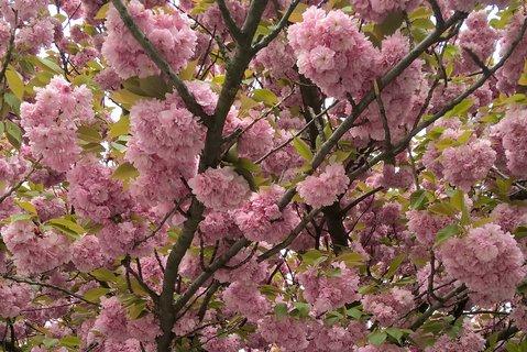 FOTKA - Sakury v kvete