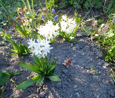 FOTKA - Hyacinty moc nevyrostly ani květů moc nemají (11.4.)