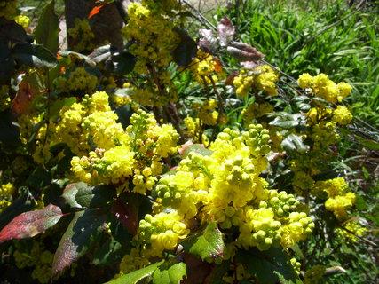 FOTKA - I mahon má krásné květy