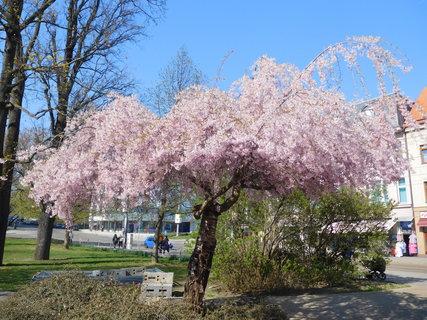 FOTKA - Růžová krása (15.4.)