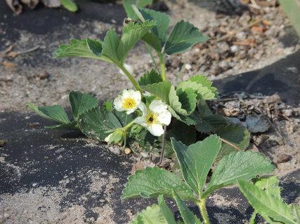 FOTKA - Jahody už kvetly 24.4.