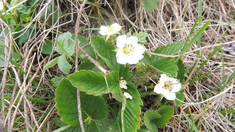 FOTKA - jahody kvetou