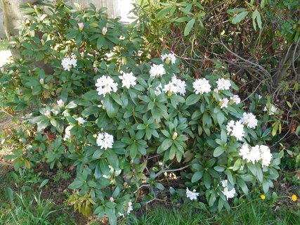 FOTKA - Bílý rododendron u chodniku vedoucího do parku (25.4.)