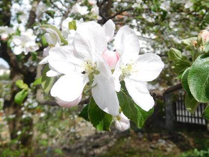 FOTKA - Detail jabloňových kvítků (26.4.)