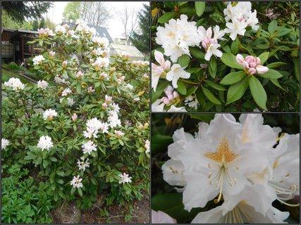 FOTKA - Menší z rododendronových keřů (26.4.)