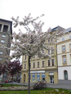 FOTKA - Stromek s bílými květy (27.4.)