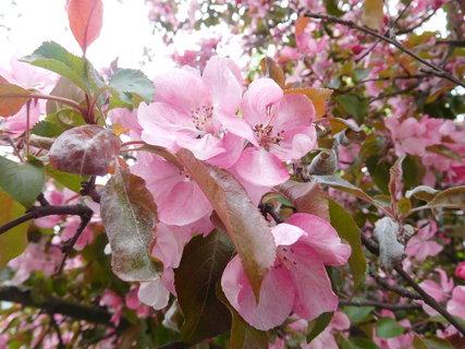 FOTKA - Detail květů (27.4.)
