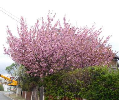 FOTKA - Plnokvětá sakura (28.4.)