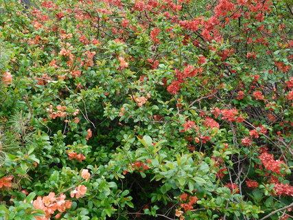 FOTKA - Kdoulovce s růžovými a červenými květy (28.4.)
