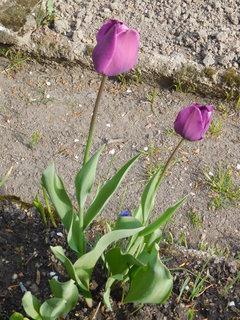 FOTKA - Fialové tulipány (28.4.)