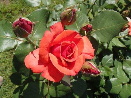 FOTKA - ruža