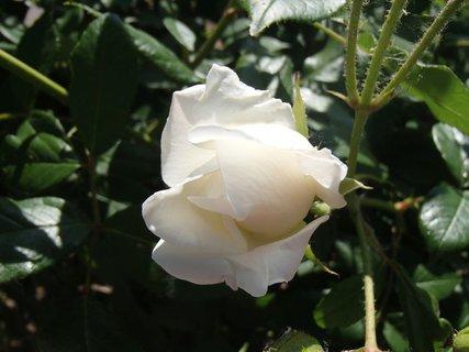 FOTKA - biela ruža