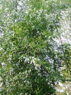 FOTKA - Jeden ze stromů střemchy (30.4.)