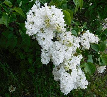 FOTKA - Květenství šeříku (30.4.)
