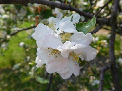 FOTKA - Detail jabloňových kvítků (2.5.)