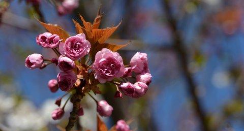 FOTKA - Sakura ozdobná nebo třešeň pilovitá