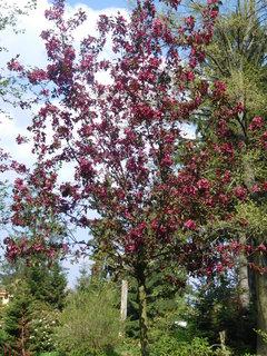 FOTKA - Okrasný stromek s tmavými květy (2.5.)