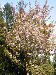 FOTKA - Růžová sakura za jezírkem (2.5.)
