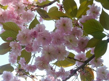 FOTKA - Květy sakury (2.5.)
