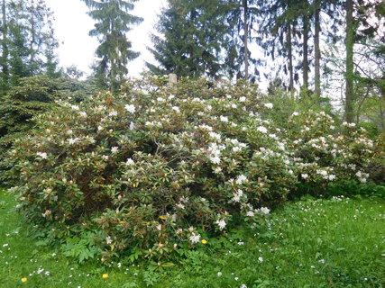 FOTKA - Velký keř bílého rododendronu (2.5.)
