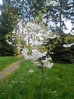 FOTKA - Nový stromek v parku s bílými květy (2.5.)