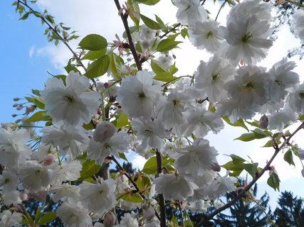 FOTKA - Bílé plnokvěté květy (2.5.)